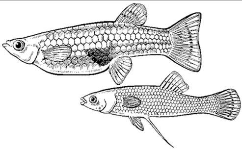 Рыбка гамбузия. У самки (сверху) тёмное анальное пятно, выступающее релизером для направления гоноподия самца при ухаживании