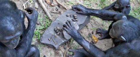 Шимпанзе могут собирать конструктор по идеальному «образцу», который держат в голове, или произвольно-творчески. При сборке по образцу могут собирать фигуру из 6 элементов, при произвольном конструировании – до 8-9, по рисунку – лишь до 3. Самки справлялись с совмещением мелких элементов успешнее, чем самец.