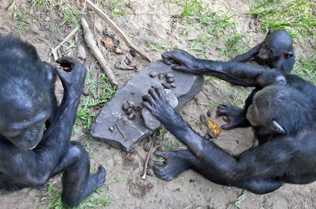 Бонобо1