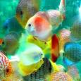Очень интересны работы Сергея Будаева по индивидуальным различиям поведения рыб [1]. Им показано, что если темперамент характеризуется объективно, то межиндивидуальные различия у рыб описываются в той же самой системе координат, что и у человека, и у других позвоночных. Она включает два стабильных фактора (1) общая активность, исследование и социальная тенденция, а также (2) пугливость, страх и избегание риска, которым находятся гомологи в фактора, определяющих разнообразие темперамента у всех вышестоящих позвоночных, вплоть до человека (скажем, политические убеждения зависят от пугливости).