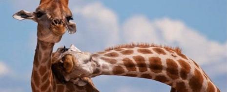 Для этологов и зоопсихологов важен вопрос - что первично, поведение животного или состояние, что находит выражение в поведении? Во втором случае состояния внутреннего мира животного детерминируют его поведенческий паттерн в «мире внешнем», в первом, наоборот мотивационное состояние «внутри» животного есть по сути результат интериоризации тех поведенческих актов, которые осуществляются устойчиво и успешно. Точь-в-точь как в представлениях культурно-исторической школы в психологии (Л.С.Выготского) все специфические черты человеческой личности развиваются путём интериоризации внешних значений знаков, употребляемых этой личностью в процессе общения и взаимодействия с другими людьми.