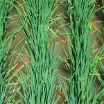 Экологичное сельское хозяйство: «Рис и рыба: что обеспечивает успешность комплексных рисоводческих агроценозов?»