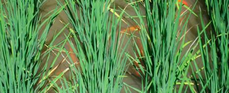 Китайские ученые детально исследовали экологические взаимосвязи комплексных зарыбленных рисоводческих наделов. Они показали, что в таких комплексных хозяйствах повышение урожаев обеспечивается за счет уничтожения вредителей...