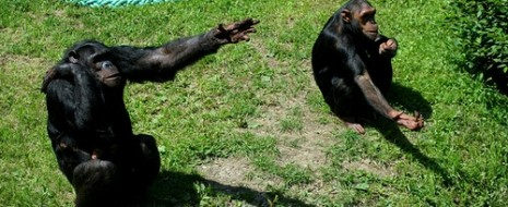 В своё время в 70-х гг. Чарльз Менцель провёл знаменитые опыты по дистанционному наведению. В них шимпанзе, знавший где находится спрятанная еда, направлял группу незнающих шимпанзе точно к ней. Самое главное было то, что...