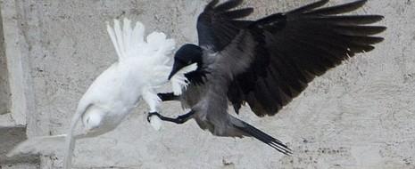Много раз видел, как наши городские вороны убивают голубей. Там, где их постоянно подкармливают гуляющие, насытившиеся голуби начинают драться. Особенно сейчас, в период весеннего возбуждения: какой-нибудь крупный самец начнёт ворковать, кланяться, а затем, обнаружив рядом с собой кого-то послабже начинает его гонять и наседать сверху. В конце концов оба голубя...