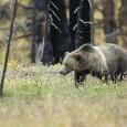 Анализ каскада экосистемных последствий от возвращения волков и других крупных хищников на особо охраняемые природные территории, где они ранее были истреблены человеком, показывает, что именно их воздействие на копытных и...