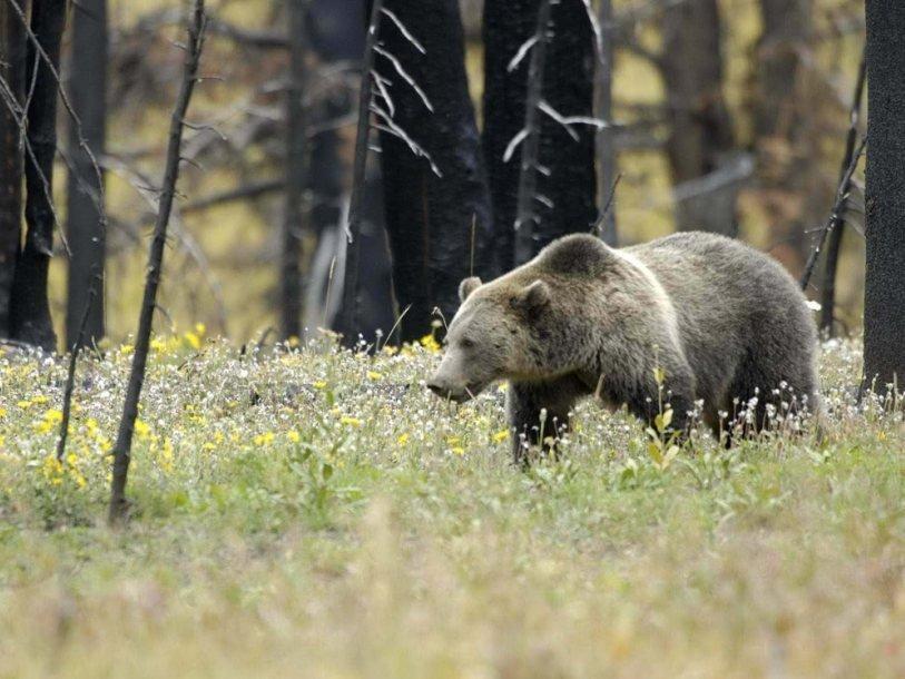 ps_grizzly_bear_1405064559.jpg.814x610_q85