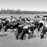 «Зерновой кризис» при производстве мяса в СССР