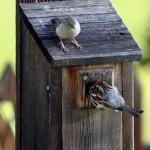 Домовый воробей – птица бедных кварталов