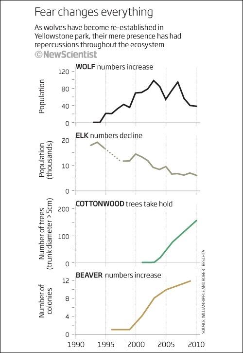 Изменение численности волков в Йеллоустоне отразилось не только на популяции вапити, но и на количестве толстых тополей и колоний бобров.