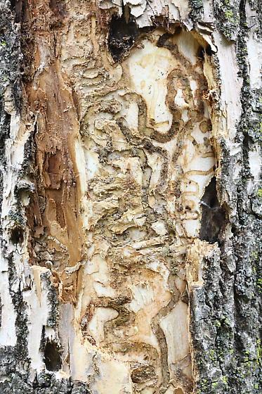 Признаки поражения дерева изумрудной ясеневой златкой