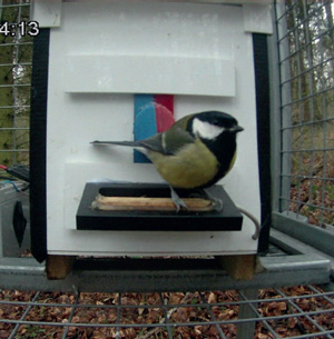 Рис. 2. Кормушка-головоломка, использовавшаяся в эксперименте по формированию культурных традиций у большой синицы. Птица может добраться до еды, сдвинув клювом красно-голубую дверцу либо влево, либо вправо. Кормушка помещена в клетку 1×1×1 м с размером ячеи 5×5 см, что делает кормушку доступной только для мелких птиц, не подпуская к ней более крупных животных, таких как белки и вороны. Фото из обсуждаемой статьи в Nature