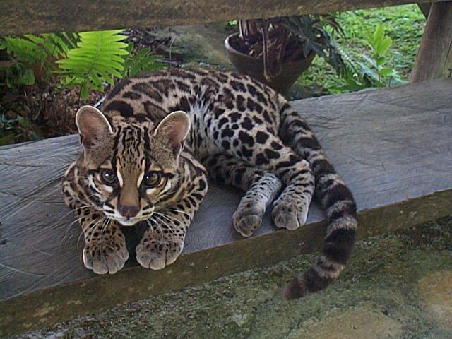 Леопардовая кошка, маргай, Leopardalis wiedi