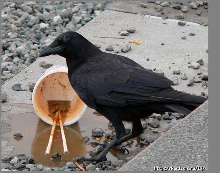 Большеклювая ворона, урбанизировавшаяся на Хоккайдо