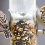 Модели урбанизации «диких» видов птиц
