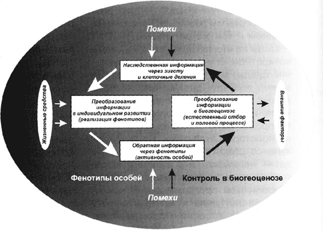 """Схема регулирующего механизма эволюции сучётом обратной связи между фенотипом игенотипом (по И.И. Шмальгаузену, """"Кибернетические вопросы биологии"""", 1968)"""