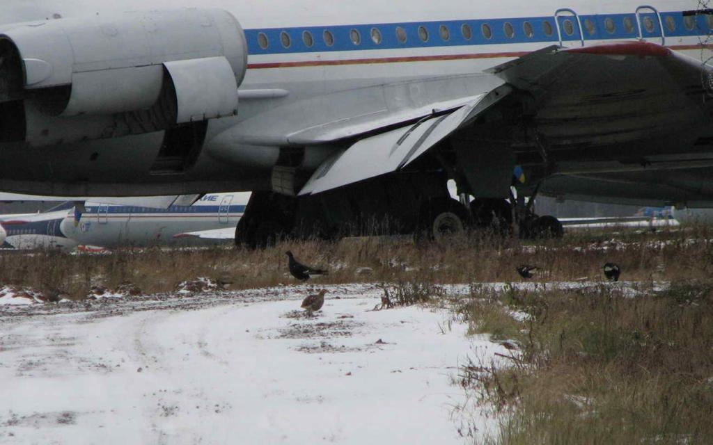 Тетерева на кладбище старых самолётов во Внуково