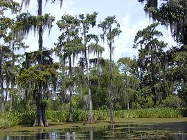 Болота на юге Луизианы. Болотные кипарисы