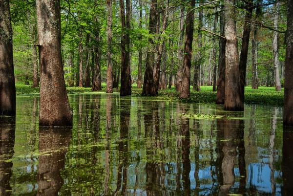 Самая большая марь на территории Соединенных штатов, бассейн Атчафалайя расположен в центральной части жаркого и сырого штата Луизиана