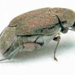 Чтобы обмануть паразитического наездника, жук зерновка откладывает «кукольные» яйца