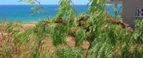 Мимозка, или прозопис (Prosopis) — род деревьев и кустарников американского происхождения, представители которого за последние полвека вероломно вселились в Старый Свет и захватывают всё новые и новые территории. Прозопис серёжкоцветный, вторгся в Индию и теперь угрожает здоровью Wild Ass Wildlife Sanctuary — одного из последних прибежищ диких индийских куланов. Причём расселению вредоносного....