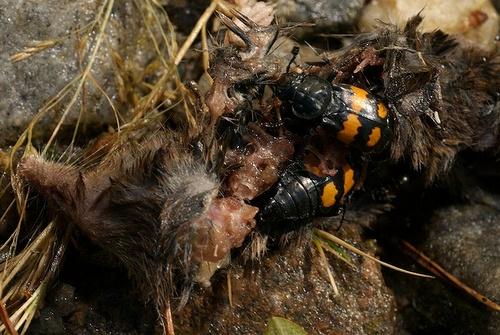 Жуки-могильщики N. vespilloides за работой. (фото ebjno2).