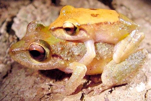 Pristimantis nubisilva, самец и самка в амплексусе.