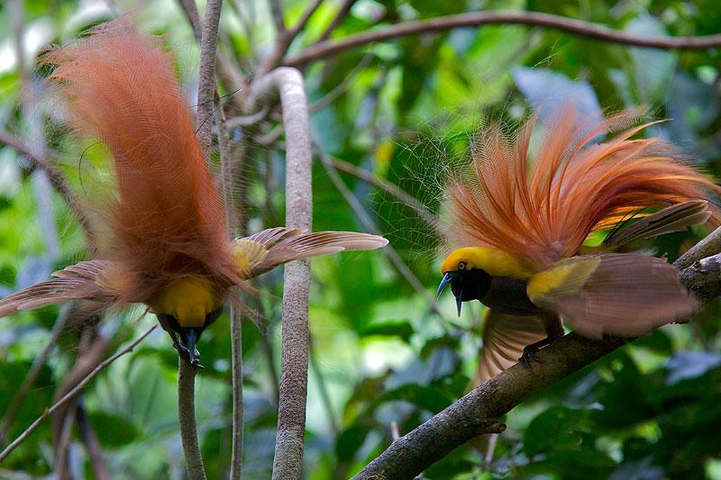 Райская птица Paradisaea decora