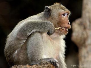 Macaca_fascicularis,_long-tailed_macaque,I_TS845