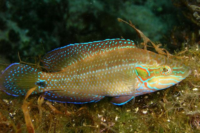 Глазчатая зеленушка Symphodus ocellatus