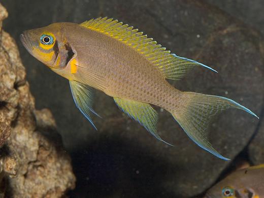 Neolamprologos pulcher из оз.Танганьика.