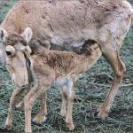 Причина гибели сайгаков в Казахстане