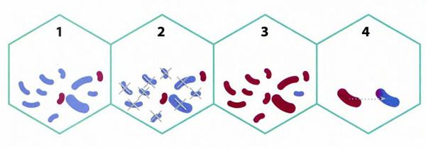 Устойчивость по наследству Гены устойчивости можно получить с помощью вертикального переноса — по наследству от родительской клетки, горизонтального — в результате конъюгации — своеобразного полового процесса, при котором бактерии соединяются участками клеточных стенок и обмениваются генами, или с помощью бактериофагов, которые, разбегаясь из убитой бактерии, могут вместе со своими генами прихватить участок микробной ДНК, передать ее следующей зараженной бактерии и погибнуть под действием бактериального иммунитета.