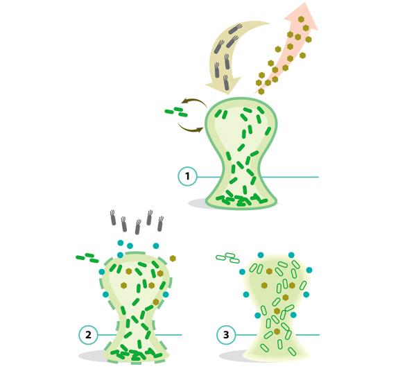 Найти и уничтожить Изящное решение разработано группой Мэтью Чана в Наньянском технологическом университете (Сингапур). Обычную кишечную палочку ученые превратили в оружие против Pseudomonas aeruginosa — синегнойной палочки, частой причины больничных инфекций. В геном «бактерии-бомбы» ввели четырехступенчатую конструкцию. Первая синтезирует белки-индикаторы, которые связываются с сигнальными молекулами, обеспечивающими «чувство кворума» синегнойной палочке и другим микробам-коллективистам, образующим скопления-биопленки, связанные молекулами ДНК. Получившийся комплекс запускает сразу три реакции: синтез антимикробного пептида микроцина S, фермента ДНКазы-I, разрушающей биопленку (оба соединения выделяются в окружающую среду через клеточную мембрану), и комплекса белков, обеспечивающих движение кишечных палочек в направлении большей концентрации «молекул кворума». В результате разрушаются и патогены, образующие биопленку, и отделяющиеся от нее микробы. Как и методика выращивания «в клетке» некультивируемых бактерий, этот метод является принципиально новой платформой, позволяющей создавать новые противомикробные средства.