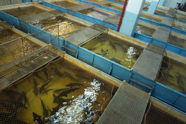 Рыбоводный комплекс в плотине Волжской ГЭС.