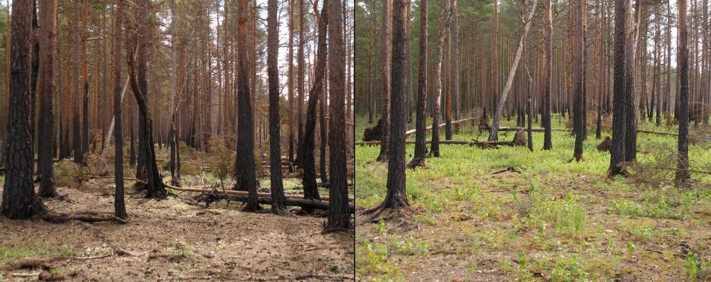 Северный сосновый лес после пожара и начало восстановления