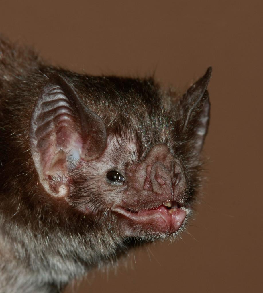 обыкновенный вампир Desmodus rotundus