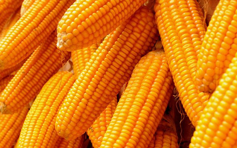 maize_big_img