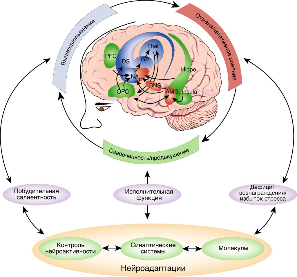 Рисунок 2. С точки зрения Koob. Схема, показывающая нейросеть пристрастия, разделенную логически на три стадии цикла пристрастия: Синяя полоска — выпивка/опьянение, красная — отмена/негативное влияние и зеленая — озабоченность/предвкушение. Вовлеченные нейросети также обозначены цветом. Также обозначены базальные ганглии, в том числе прилежащее ядро (NAC), дорсальная полоска (DS), бледный шар (GP) и таламус (Thal) в качестве ключевых элементов стадии выпивка/опьянение; увеличенное миндалевидное тело, в том числе центральное ядро миндалевидного тела (AMG), опорное ядро краевой полоски (BNST), и переходная область в оболочке прилежащего ядра (NAC) — в качестве ключевых элементов стадии отмена/негативное влияние; а также лобная кора и аллокортекс, в том числе и префронтальная кора (PFC), орбитофронтальная кора (OFC), гиппокамп (Hippo), и островковая область (Insula) — в качестве ключевых элементов этапа озабоченность/предвкушение. Молекулярные, синаптические и нейросетевые нейроадаптации объединяются вместе, чтобы сделать четыре ключевых шага к переходу к пристрастию: усиление побудительной салиентности (сокращенный Koob вариант формулировки Wise:«доминирование сигналов, направляющих и мотивирующих «поиск дозы», над сигналами, направляющими и мотивирующими поиск более естественных удовольствий в жизни»), уменьшение вознаграждения, усиление стресса и ослабление исполнительной функции.