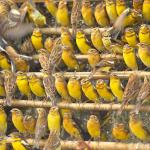 Глобальный коллапс популяции сверхмногочисленной перелетной птицы и нелегальный отлов в Китае