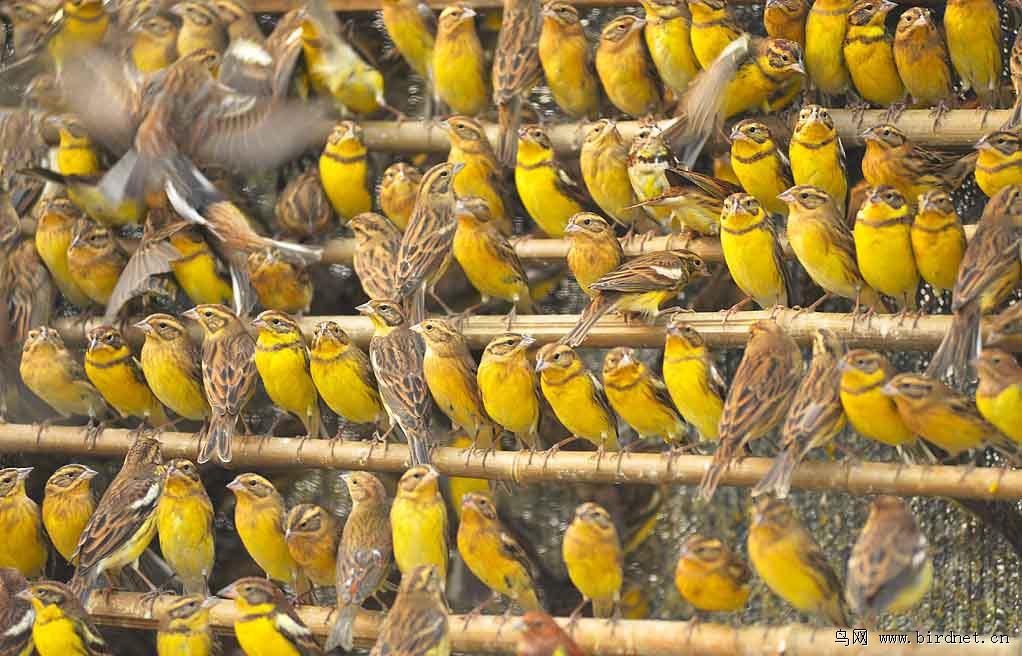 Дубровники из партии в 1600 особей, которая была конфискована в месте отлова (Фошань, провинция Гуандун, Китай, 1 ноября 2012).Фото Huang Qiusheng. (Рисунок 4. )