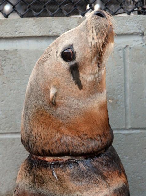 Морского льва по кличке Blonde Bomber заметили на пирсе Сан-Франциско с кольцом упаковочной ленты на шее. Команда Центра морских млекопитающих (The Marine Mammal Center) забрала его в госпиталь, где льва освободили от мусора и подлечили. Через неделю его выпустили в океан.