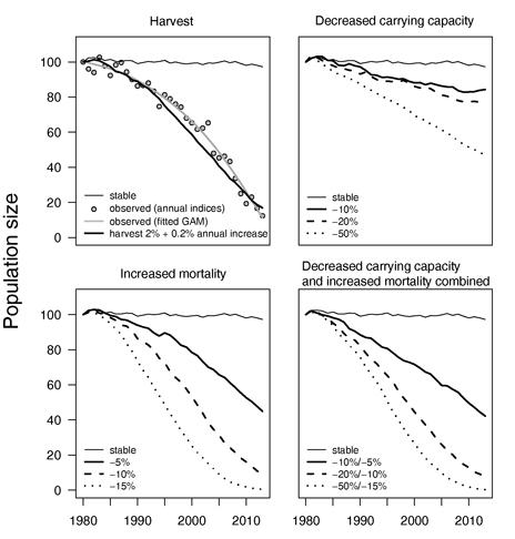 Рисунок 5. Моделируемый размер популяции дубровника более чем за 34 года, базирующийся на 4-х сценариях, влияющих на демографические параметры этой птицы (линии - подсчитанные средние популяционные траектории для 100 воспроизведений популяционной модели, построенные программой Vortex). В квадрате со сценарием добычи соответствующие значения наблюдаемой тенденции и более сглаженная функция обобщенной добавочной модели (GAM) (рис. 2) показаны для сравнения. Пояснения к рисунку 5. По оси ординат показан размер популяции. Названия сценариев (от верхнего левого по часовой стрелке): добыча; уменьшения размера максимальной плотности популяции, которая может длительно поддерживаться саморегуляцией; комбинация уменьшения размера максимальной плотности популяции, которая может длительно поддерживаться саморегуляцией  и  возрастания смертности; возрастание смертности. Подписи к графическим фигурам сценария добычи: тонкая черная линия – стабильность; кружок – наблюдаемые значения (ежегодные индексы); жирная серая линия – наблюдаемое (соответствующее модели GAM); жирная черная линия – добыча   2 % + ежегодное увеличение на 0,2 %).