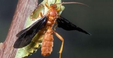 Осы-наездники передают гусеницам вместе со своими личинками браковирус, блокирующий  естественный иммунный ответ от тела гусеницы и таким дающий возможность личинке спокойно размножаться. Показано, что частички ДНК этого вируса перешли в геном гусениц и оказались эффективным средством для защиты от другого вируса. Главное значение этого открытия - оно ясно показывает, как вирусы становятся источником генного ...