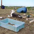 У 90% морских птиц в желудках могут быть кусочки пластика – к такому заключению пришли авторы новой статьи в журнале PNAS. Их модель учитывает распространение пластмассового мусора в океане,...