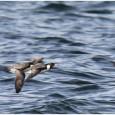 Лишь для пятой части видов морских птиц есть достоверная информация об их состоянии. Но и имеющиеся сведения неутешительны: за последние 60 лет численность морских птиц сократилась почти на 70%. Наибольшая убыль отмечена в...