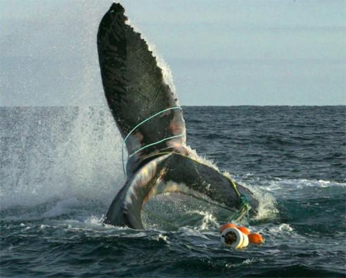 Запутавшийся в пластиковом мусоре горбатый кит недалеко от канадского побережья. По словам спасателей, рыболовный трос несколько раз обернулся вокруг тела и хвостового плавника кита, семь или восемь витков было вокруг левой ласты и один проходил через рот животного. / Фото Провинстаунского центра прибрежных исследований.