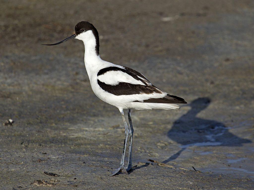 Шилоклювка Recurvirostra avosetta