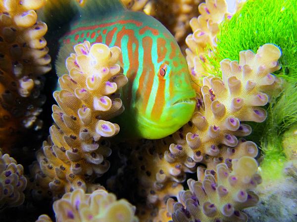 Коралловый бычок G. histrio, приплывший на призыв коралла, чтобы избавить его от токсичной зелёной водоросли C. fastigiata (фото Danielle Dixson / Georgia Institute of Technology).