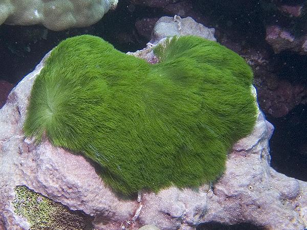 Гроза кораллов зелёная водоросль Chlorodesmis fastigiata